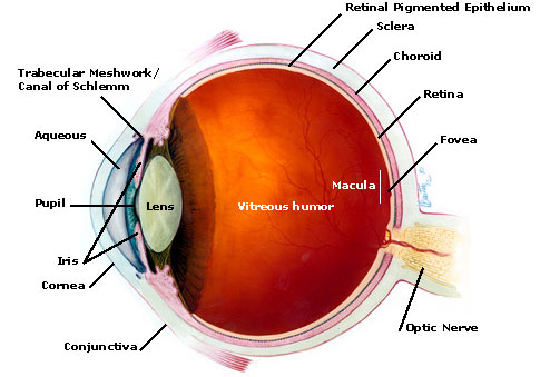 retina detachment | eyepedia, Skeleton